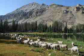utah sheep in high country